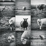 Sheep-collage by Rob1962