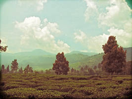 Field of Tea Leafs at Puncak by airl4ngg4