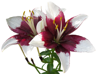Asiatic Lilies clear-cut by WDWParksGal-Stock
