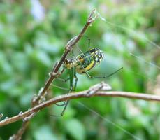 Orchard Spider.,.. by duggiehoo