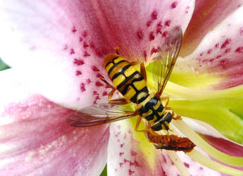 Yellowjacket Hover Fly by duggiehoo