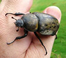 Ms. Eastern Hercules beetle by duggiehoo