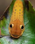 ..Spicebush Swallowtail cat1 by duggiehoo