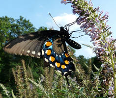 ,,,.Pipevine Swallowtail., by duggiehoo