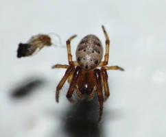 supersmallAraneidae by duggiehoo