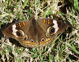 ....Common Buckeye., by duggiehoo