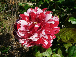 ...Rose.., by duggiehoo