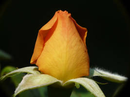 ..Rosa ..., by duggiehoo