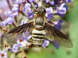 Bombyliidae of some sort by duggiehoo