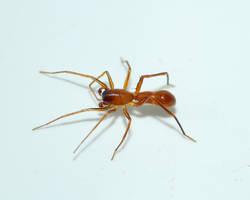 Ant-mimic Spider...tiny by duggiehoo