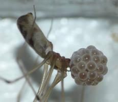 Pholcidae with eggs by duggiehoo
