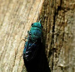 Cuckoo wasp by duggiehoo