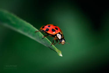 Ladybug 1 by Smurfage