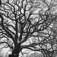 Sinuous oak by yuushi01
