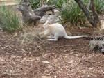 Albino Wallaby at Bonorong Wildlife Sanctuary by colin6969