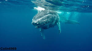 Whale Swimming in Tonga Shot 01 by colin6969
