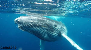 Whale Swimming in Tonga Shot 02 by colin6969