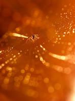 Golden light golden web by padika11
