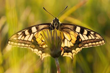 Papilio machaon IV by padika11