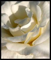 White Rose by DaFotoGuy