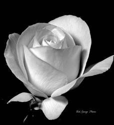 B and W Rose by DaFotoGuy