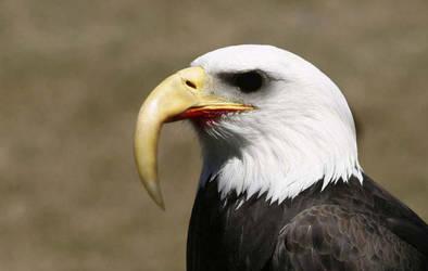 zombie eagle by bijan28