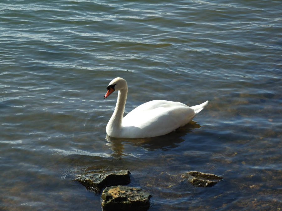 Swan1 by EnchantedByDarkness
