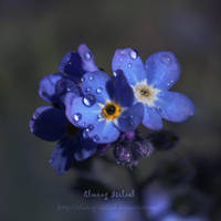 Forget-me-not by Elwing-Isiliel