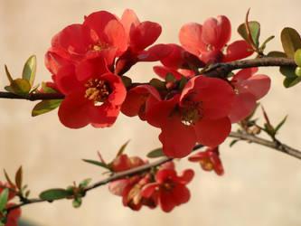 Pink blossom by Sochica