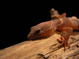 Utah Banded Gecko by Son-of-Italy
