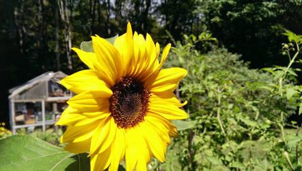 The Sunflower by jkund