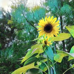 Sunflowers by jkund