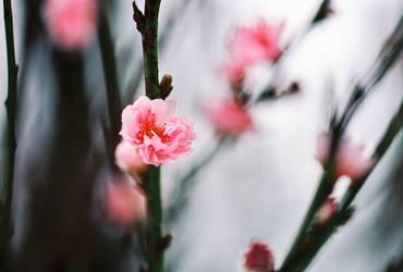 Sakura dreaming by sassystrawberry