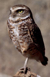 Hi-Res Owl Stock image by SV-Blackart