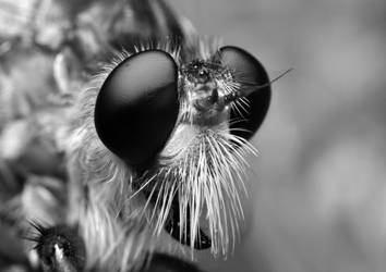 Robberfly in Black and White by Enkphoto