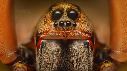 Hogna Wolf Spider by Enkphoto