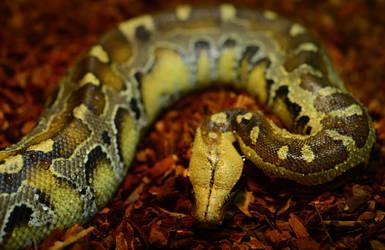 Python brongersmai by Enkphoto