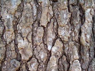 Sweetgum Bark by ambruce