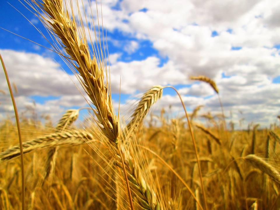 Corn Field by FightingFlames