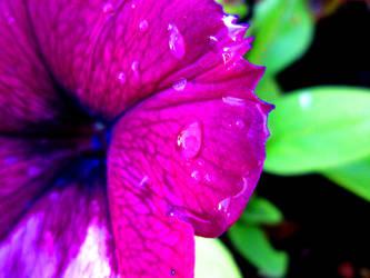 Water Droplets on a Purple Flower. #1 by FightingFlames
