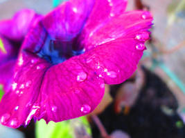 Water Droplets on a Purple Flower. #2 by FightingFlames