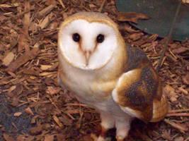 Barn Owl by xxLana87xx