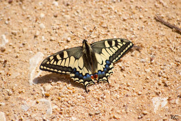 Swallowtail by horai