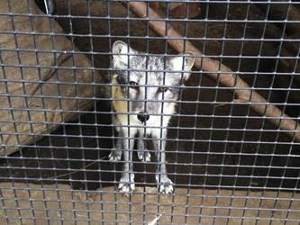 foxy fox by wolvesone