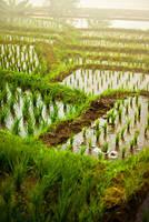 Rice Field by Aerobozt