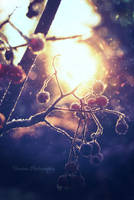 Frost berries by Floreina-Photography