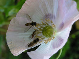 Three hoverflies in poppy blossom by Dowlphin