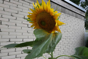 Shy Sunflower by Dowlphin