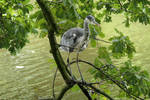 Gray Heron on close lookout by Dowlphin