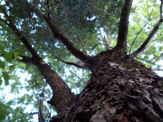 Upwards: Carya illinoinensis by PiterKeo